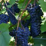 V-Lite used in viticulture